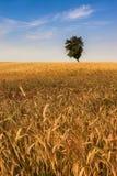 Lonely tree. On summer wheatfield Stock Photo