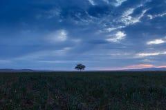 Lonely tree, sunrise field. Stock Photo