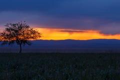 Lonely tree, sunrise field. Stock Photos
