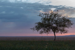 Lonely tree, sunrise field. Royalty Free Stock Image