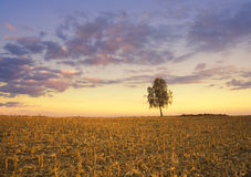 Lonely tree at sunset Royalty Free Stock Image