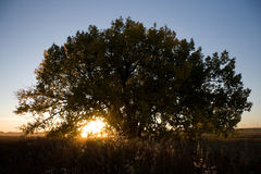 Lonely tree in sunset. Large tree on the Canadian prairie at sunset royalty free stock photo