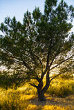 Lonely tree in sunset. In bright colors Stock Photography