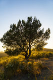 Lonely tree in sunset. In bright colors Stock Photos