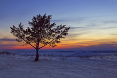 Lonely Tree at Sunset. Lonely pine at sunset in winter. Evening landscape Royalty Free Stock Photography