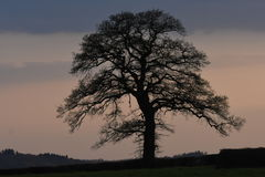 Lonely tree at sunset Royalty Free Stock Photo