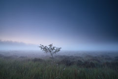 Lonely tree on swamp in misty dusk Stock Images