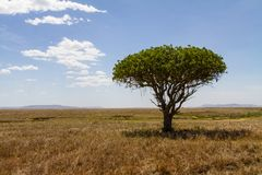 Lonely tree in Tanzania Africa Stock Images
