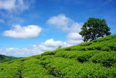 Lonely tree, tea hill, Dalat countryside Stock Photos