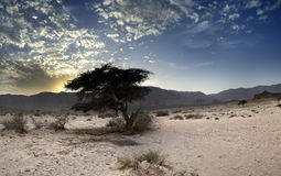 Lonely tree in Timna park, Israel Royalty Free Stock Images
