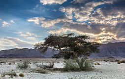 Lonely tree in Timna park, Israel Stock Images