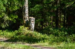 Lonely tree trunks in forest in summer. Natural environmental detail view in latvia royalty free stock photo