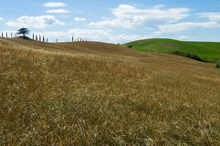 Lonely tree, Tuscan. Lonely tree on grain field. Chianti, Tuscany Stock Image