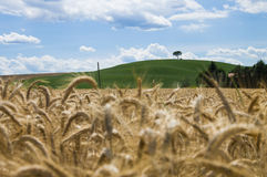 Lonely tree, Tuscan. Lonely tree on grain field. Chianti, Tuscany Stock Photography
