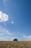 Lonely tree, Tuscan. Lonely tree on grain field. Chianti, Tuscany Royalty Free Stock Photo