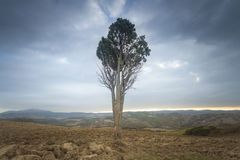 Lonely tree in Tuscany, Italy royalty free stock photos