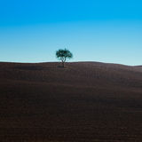 Lonely tree on a typical dark soil near Siena Stock Images