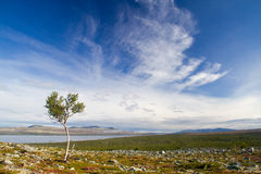 Lonely tree under cirrus clouds Stock Photo