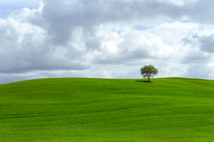 Lonely tree on a velvet green glade. The picture was taken in Tuscany, in Rheine Orcia Valley (Val d Orcia Stock Photo