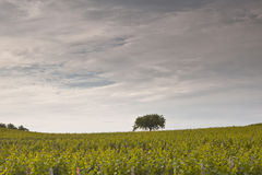 Lonely tree vines Royalty Free Stock Photo
