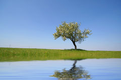 Lonely tree with water reflex. Lanscape in Spring Season with blue sky and water reflex Royalty Free Stock Image