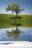 Lonely tree with water reflex. During spring Royalty Free Stock Photography