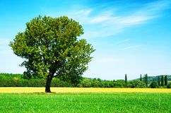 Lonely tree on wheat field Stock Image