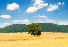 Lonely tree on the wheat field Stock Photography