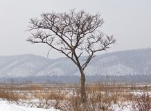 Lonely tree in the winter Royalty Free Stock Images