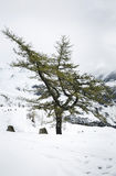 Lonely tree in winter Stock Photography