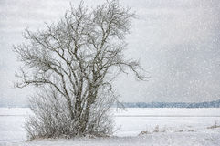 Lonely Tree in Winter Royalty Free Stock Image