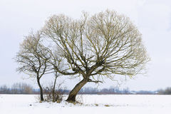 Lonely tree. Winter field in evening with the trees Royalty Free Stock Photo