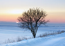 Lonely tree. Winter field in a frosty sunset Stock Photos