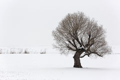 Lonely tree in winter time Royalty Free Stock Photos