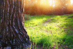 Lonely tree in the woods at sunlight Stock Images