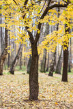 Lonely tree with yellow autumn leaves. Lonely tree with yellow autumn foliage with a blurred background royalty free stock photography