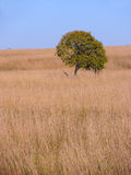 Lonely tree at yellow field Stock Photos