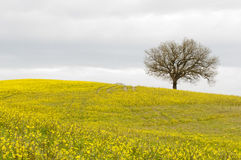 Lonely tree on yellow hill Royalty Free Stock Photos