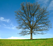 Lonely tree2. Green grass and a lonely oak tree stock photography