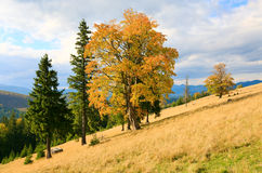 Lonely trees on autumn mountainside Stock Image