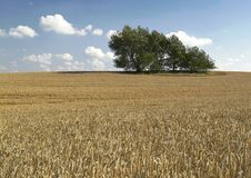 Lonely trees in field. Farming landscape in phase harvest Stock Photography