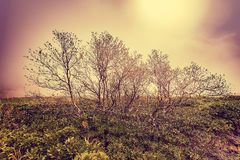 Lonely trees in the mountains at foggy morning time between rhododendron bushes. Stock Photos