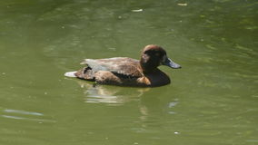 Lonely tufted duck. Beautiful chocolate brown female tufted duck swimming alone on lake stock video