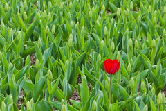 Lonely Tulip Stock Images