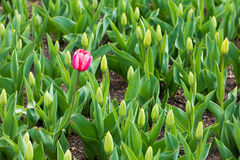 Lonely Tulip Stock Image