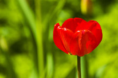 Lonely tulip Royalty Free Stock Photo
