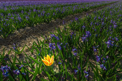Lonely tulip. A lonely tulip in a field of hyacinths Royalty Free Stock Photo