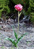 Lonely tulip on a green background, growing in the ground on the field. Tulip is standing out from the crowd Royalty Free Stock Image