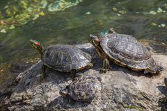 Lonely turtles found by a lake royalty free stock photography