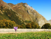 Lonely violet. Image of a violet in a grass field at the foot of the mountains Stock Image